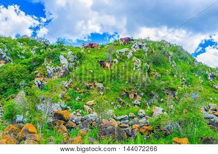 The cows graze on the steep of the hill surrounded by boulders and greenery Hayravank Armenia.