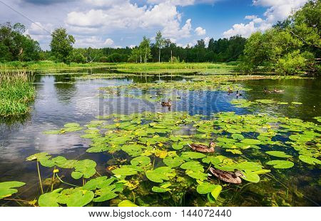 Ducks in the pond with blooming water lilies