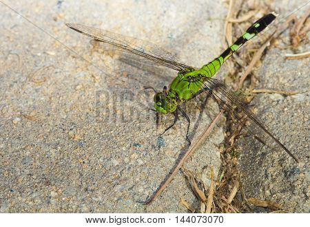 Large green dragonfly that is sitting on some sand set bricks