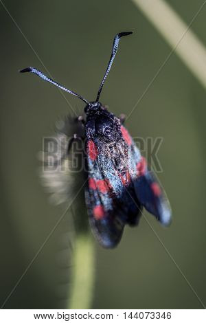 black blue and red butterfly on a flower outdoor macro closeup