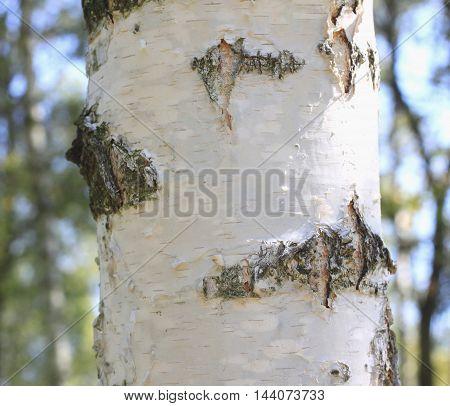 birch bark closeup, birch forest in summer