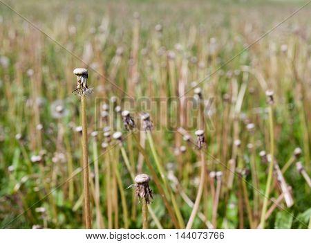 Bare dandelion flower stalks in summer meadow.