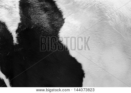 Close up real black and white cowhide