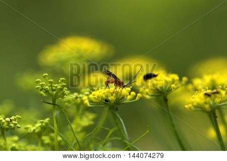 small winged insect (ant) on a yello flower outdoor macro closeup