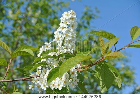 Blooming flowers of wild cherry blossoms against bright blue sunny spring sky, closeup