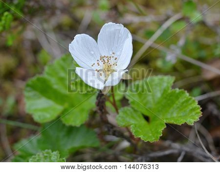 Flowering marsh berry cloudberry from which to prepare delicious preserve, jam, fruit compote. Picture taken in rainy weather, on petals of drop of water. Background blurred, focus on flower. Closeup