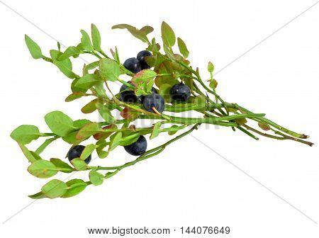 Wild plants Scandinavia and Kola Peninsula: Sprigs with blueberries purple juicy ripe berries, isolated on white background