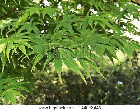Spring, maple leaf green under the sun .