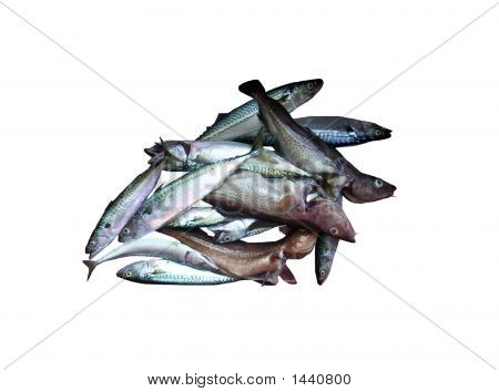 Fresh Fish Cod And Mackerel