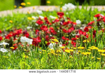 Picture taken with a shallow depth of field great for designers. Spring blooming dandelions in the park