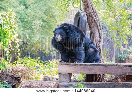 Asiatic black bear (Ursus thibetanus) sit down on the table with nature background