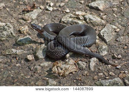 Poisonous black adder basking in the sun.