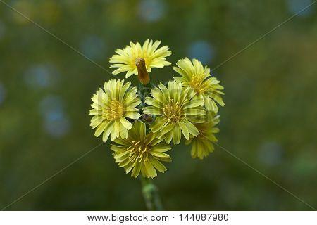 Small yellow flowers lettuce Lactuca serriola an a Meadow.