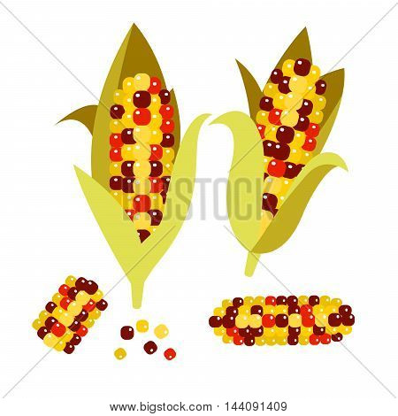 Flint or calico corn vector illustration. Maize ear or cob. Yellow sweetcorn and seeds.