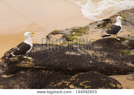 Seagull on the beach. Larus michahellis. Gaivota