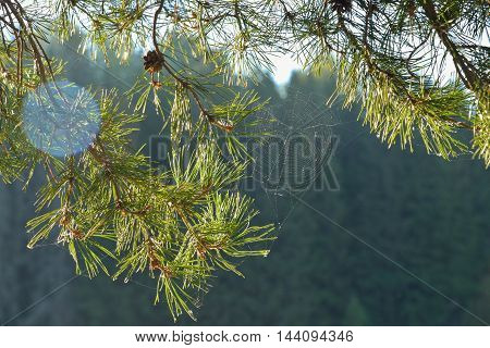 The branch of a pine with spider web in summer morting light.
