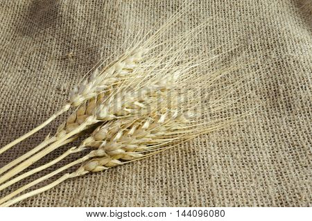 Spikelets of wheat on linen fabric background from fabric