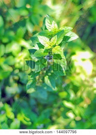 Green sprig of fresh mint at garden bed on sunny day. Selective focus.