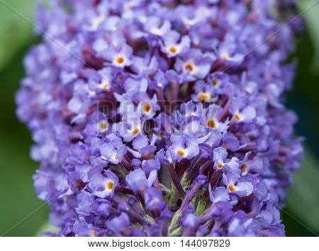 Close up of blue Buddleia (butterfly bush) flowers with shallow focus