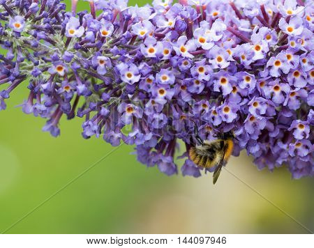 Close up of Buddleia (butterfly bush) flowers and common carder bee