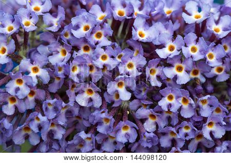 Background close up of lilac Buddleia (butterfly bush) flowers