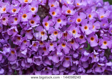 Background close up of purple Buddleia (butterfly bush) flowers