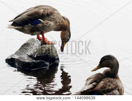 Duck on a rock taking a sip of water