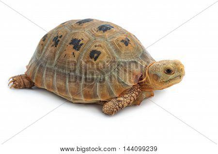 Elogated Tortoise ( Indotestudo elongata) Yellow turtle on white background