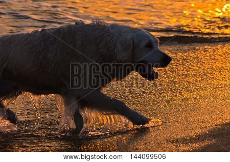 Golden retriever is swimming at sunset in Sithonia, Greece
