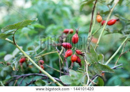 Rosehips dog rose rosa canina fruit Russian nature