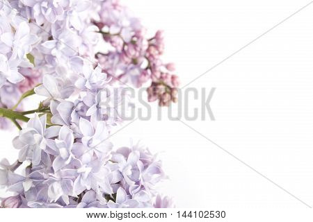 Flowers lilac tree. Isolated on white background