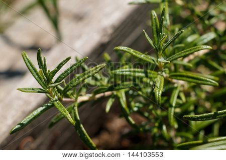 Rosemary plant close up from the little garden in the middle of the city. Urban gardening