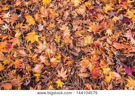 Colorful Autumn maple Leaf Season in Japan