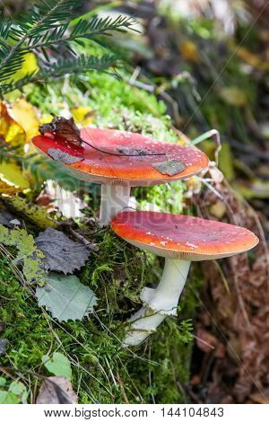 Amanita poisonous mushroom growing in forest in autumn outdoors closeup
