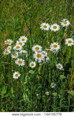 Field Daisy Flower