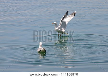 two seagulls playing in the sea water