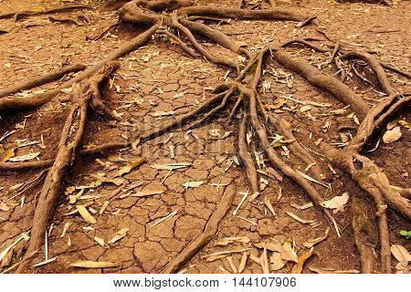 tree roots in dry cracked soil, nature background concept