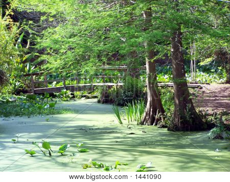 Cypress Trees  Pond