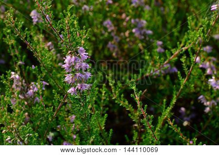 Forest flowers juniper in drops of morning dew of summer