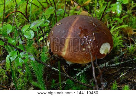 Vintage forest boletus mushroom in moss and blueberry bushes