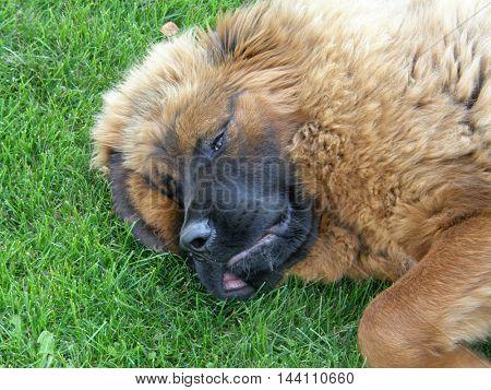 Sleeping big puppy on the green grass