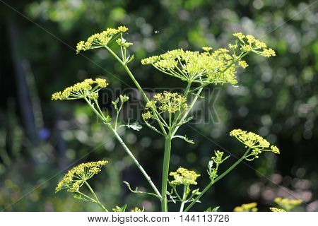 Wild Parsnip Pastinaca sativa with yellow heads in a conservation area in S.E Ontario Very toxic plant at this stage of growth.