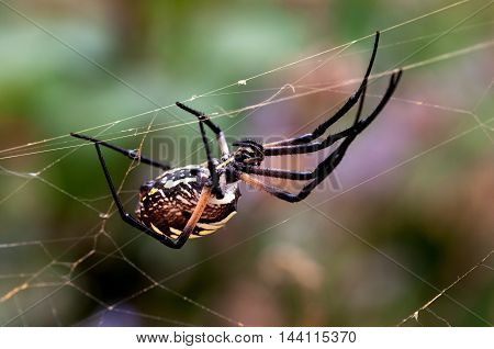 A large garden spider upside down on a web.