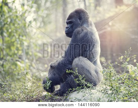 Silverback Gorilla sitting on a rock