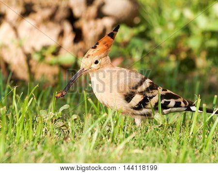 Beautiful Eurasian Hoopoe (upupa Epops) - Feeding On Insects