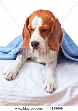 Beagle Under The Blue Blanket , Isolated On White