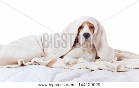 Beagle Under Blanket , Isolated On White Background