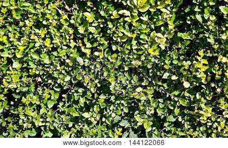 Green boxwood bushes. Abstract nature background close up
