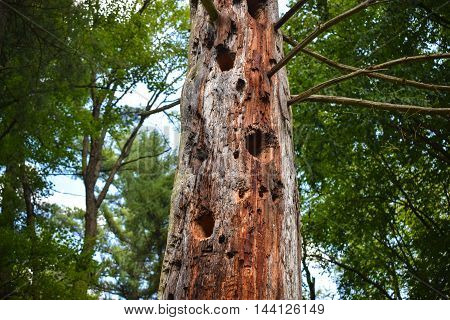 Standing dead tree with holes drilled into it by woodpeckers.