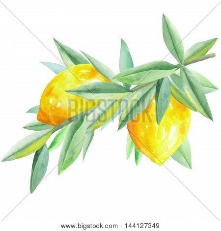 Illustration with isolated branch of yellow lemons and green leaves painted in watercolor on a white background